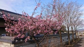 0311自宅の河津桜