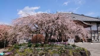 成就院 しだれ桜